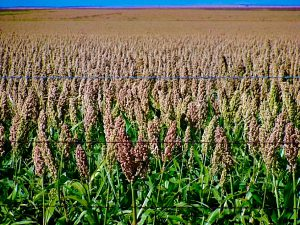 Gluten Free Sorghum Field