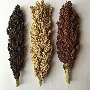 Sorghum Grains Superfood